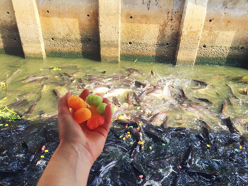 Voeren van vissen in Bangkok