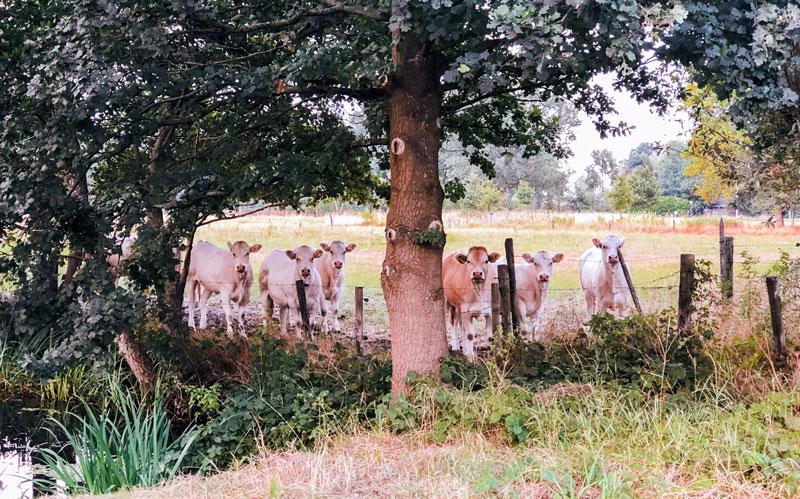 Koeien langs de trail tijdens rondje weilandje haagse beemden breda