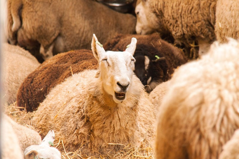 Schapenboerderij Texel, schapenboerderij, texel, lammetjes Texel, texel bezoeken, dingen doen op texel, lammetjes, schapenboerderij, schapeneiland, schapeneiland texel,