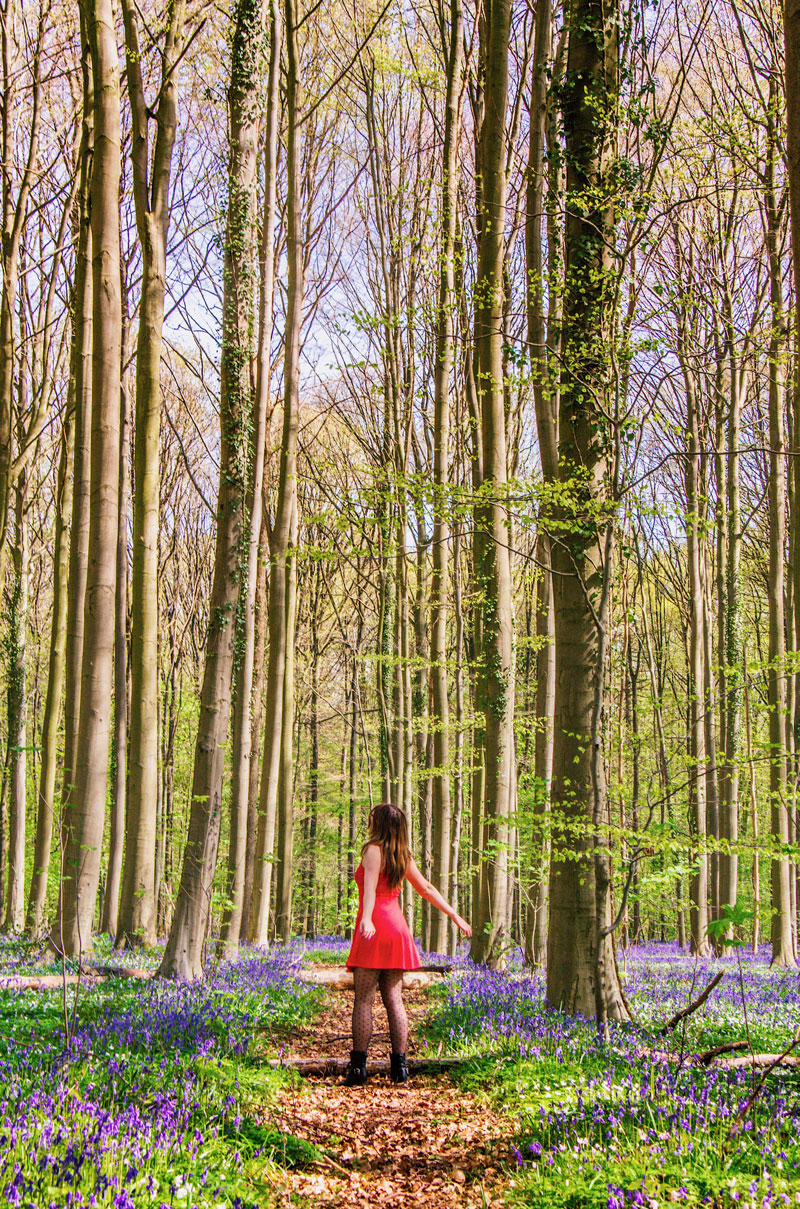 Hallerbos, hallerbos belgie, hallerbos bezoeken, hallerbos belgie bezoeken, hyacinten hallerbos,