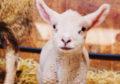 Schapenboerderij Texel: we gaan op kraambezoek + video