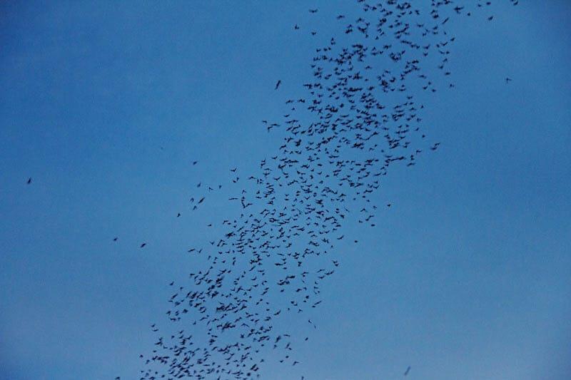 Miljoenen vleermuizen vliegen de grot uit in Khao Yai National Park