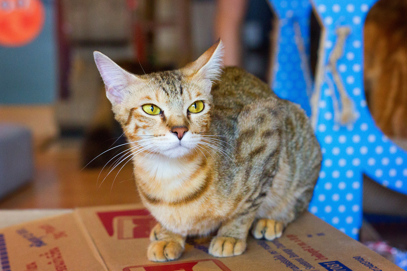 Kattencafé Catmosphere, cat café, catmosphere, chiang mai, thailand, katten, cats, café