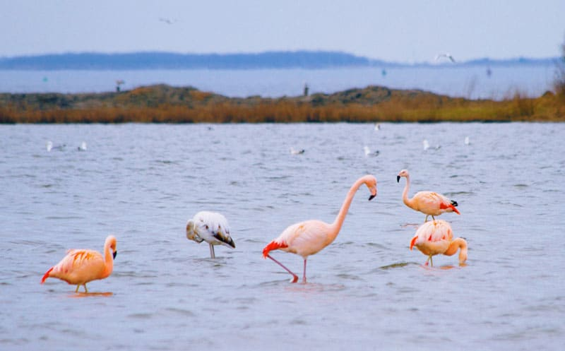 Flamingo's spotten in Battenoord Nederland