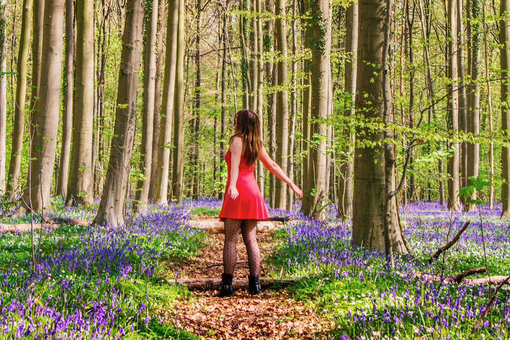 Hallerbos, the purple forest of Belgium