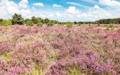 De mooiste heidewandelingen in Nederland