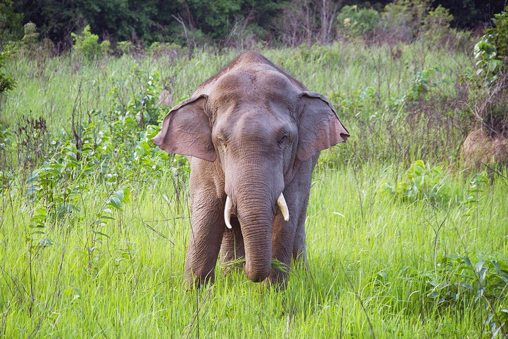 Olifant in Khao Yai National Park in Thailand